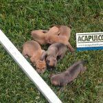 Envenenan y matan a perros en fraccionamiento Tulipanes de Acapulco, denuncian